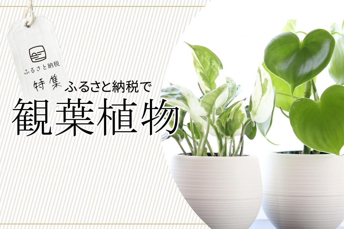 『在宅勤務でお疲れのあなたへ!見て、育てて、癒される、自宅オフィスに最適な観葉植物の選び方と、ふるさと納税返礼品で選べる、おすすめの観葉植物